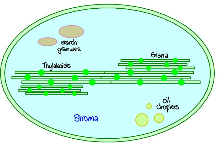 8.2 Photosynthesis 8.2.1 - Draw and label a diagram showing the structure of a chloroplast as