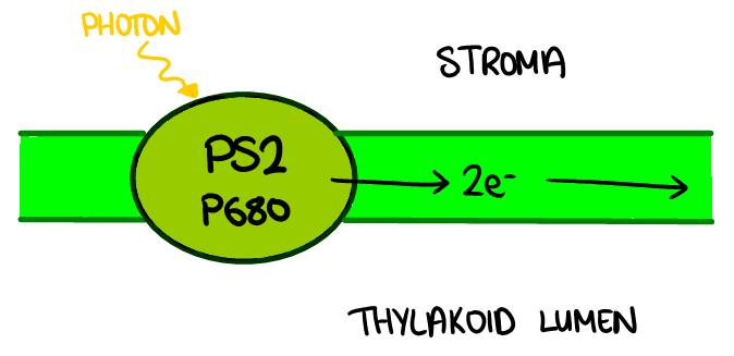 Non-cyclic Photophosphorylation The light energy from the sun is trapped in the chlorophyll, and ATP is produced.