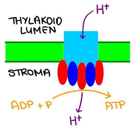 Since there is a high concentration of H + ions in the thylakoid lumen, they can diffuse
