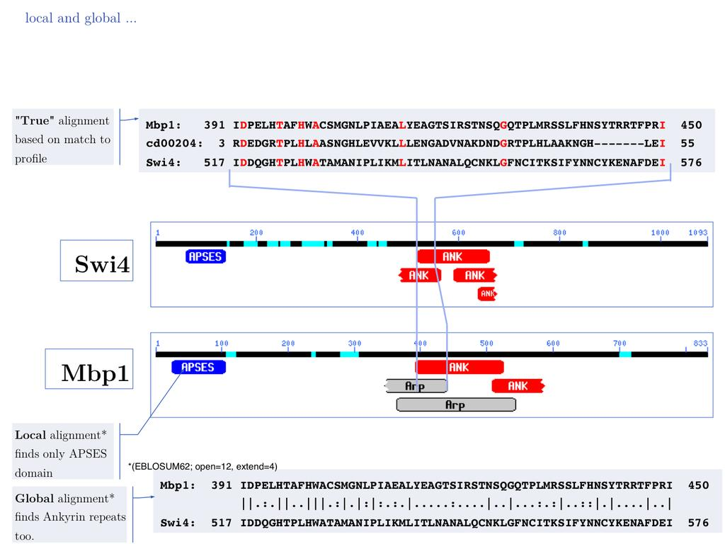 In this example, Smith-Waterman local sequence alignment detects only the highscoring similarity between Mbp1 and Swi4s APSES domains.