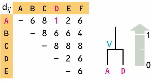 UPGMA: Example (1 st Iteration) Sequences A and D are the closest and are combined to create a new cluster V of