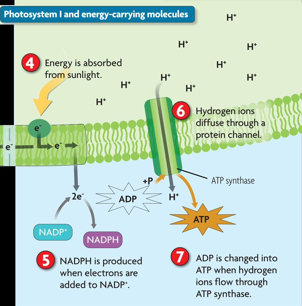 4.3 Photosynthesis in Detail Photosystem I captures energy and produces energycarrying molecules.