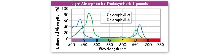 Pigments The two types of chlorophyll found in plants, chlorophyll a and chlorophyll b, absorb light very well in the blue-violet and red