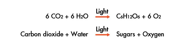 An Overview of Photosynthesis Photosynthesis uses the energy of sunlight to convert water and carbon dioxide into