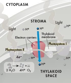 Electron Transport Chain Energy from the electrons is used by proteins in the