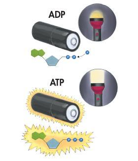 Storing Energy Adenosine diphosphate (ADP) looks almost like ATP, except that it has two phosphate groups instead of three. ADP contains some energy, but not as much as ATP.