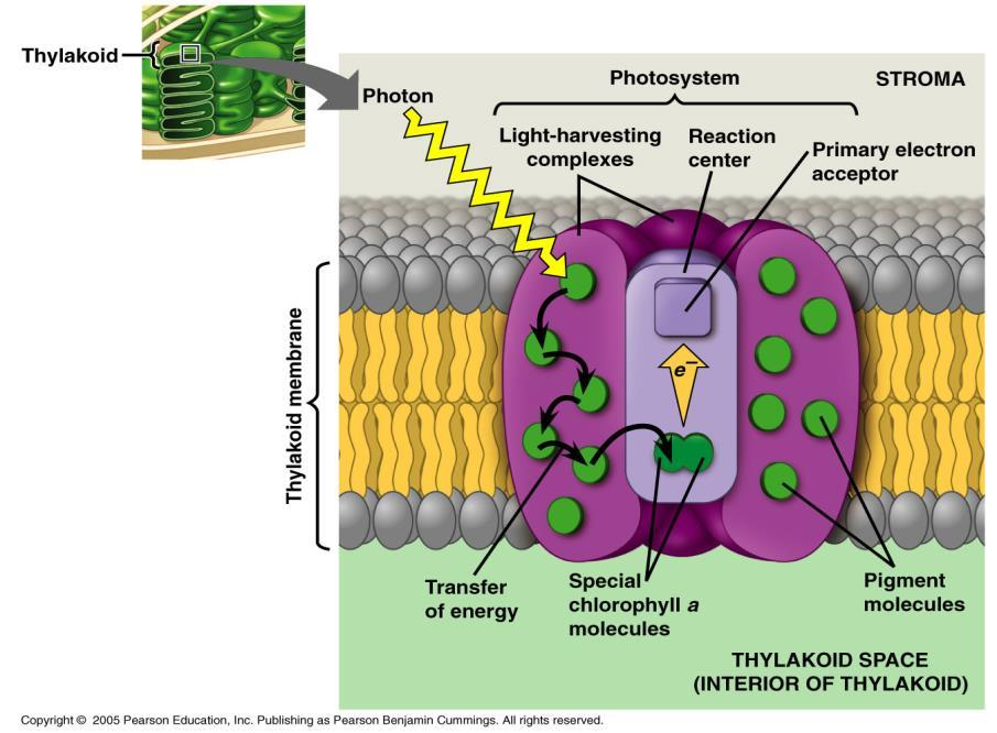 Different types of pigments in chloroplasts: 1. Chlorophyll a => dominant pigment => absorbs best in red and violet-blue, least in the green => participates directly in the light reaction 2.