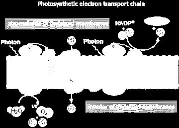 Electron Carriers - NADPH Excited electrons high energy Special carriers electron carriers Electron transport