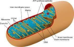 Structures of Cellular Respiration - Mitochondria The Mitochondria In almost all eukaryotic cells Where aerobic respiration occurs 2 membranes