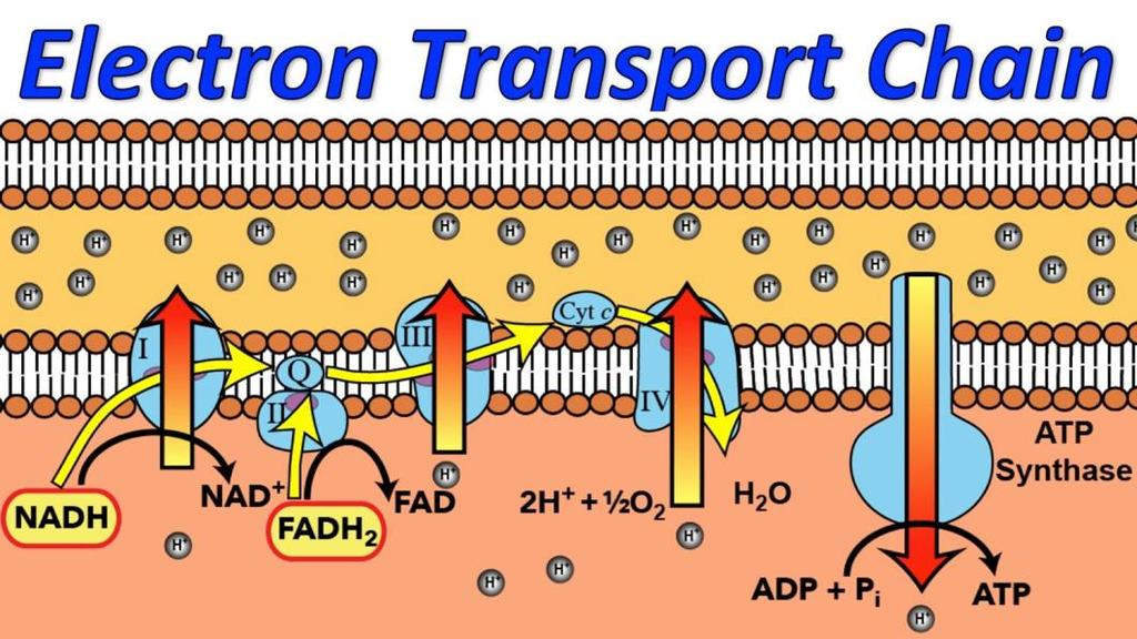 Step 3 in the presence of oxygen - Electron Transport Chain (ETC) Electrons are shuffled through the electron