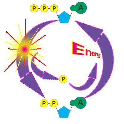 ATP-ADP CYCLE ATP is the energy currency of the cell.