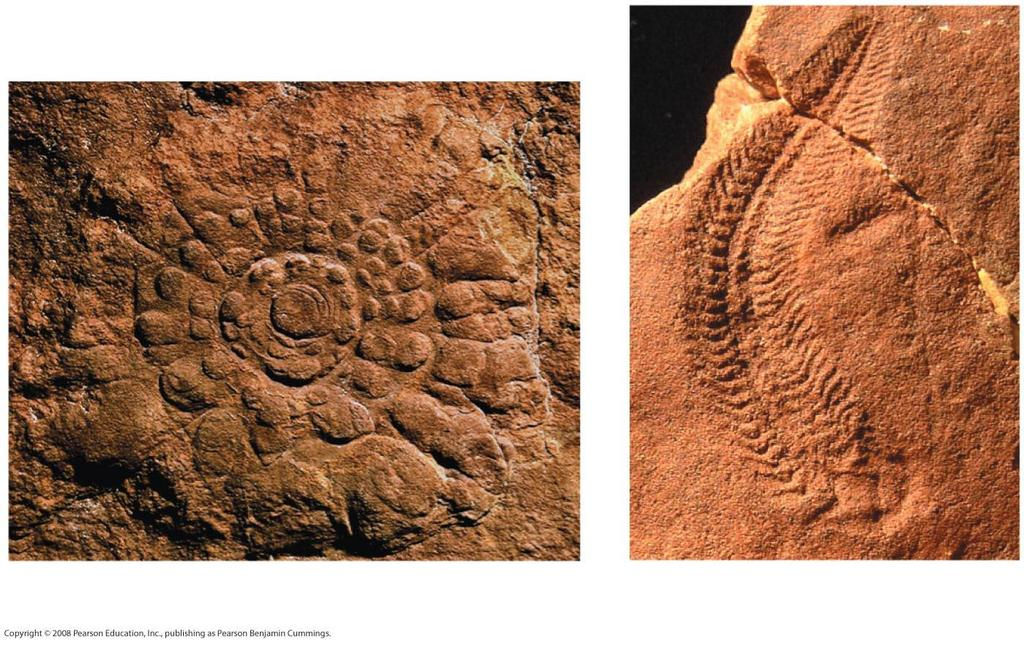 Early members of the animal fossil record include the Ediacaran biota, which dates from