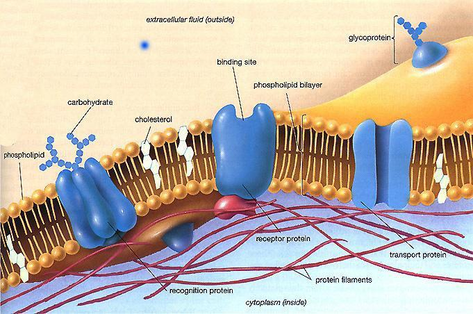 Every cell is enclosed by a Cell Membrane Function: o Regulates