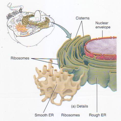 Endoplasmic Reticulum Function: Site where lipid parts of cell membrane are made, along with proteins. Transports materials throughout the cell.