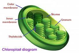 Other organelles NOT
