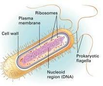 Prokaryotes Genetic material (DNA) is not contained in a