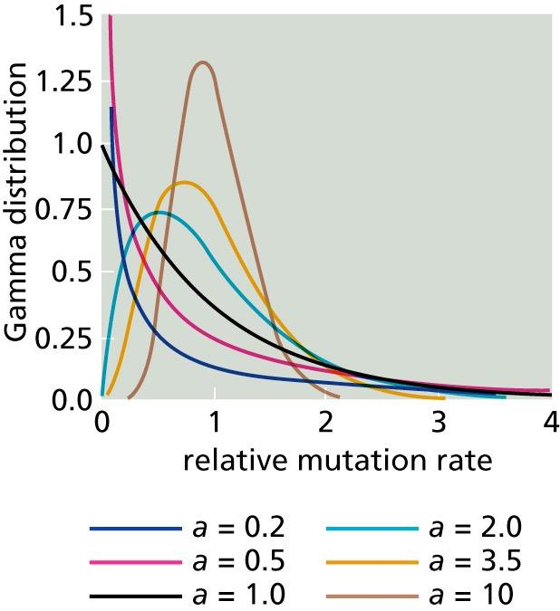 The Gamma Distance Correction A questionable assumption is that of an equal rate of mutation at different positions in the sequence In 1971, Uzzell and Corbin reported that a