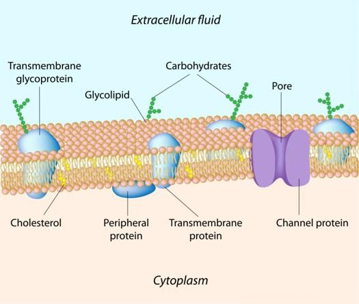 5. Cell Membrane Surrounds the cell as a thin layer of protein (about -millionths of a millimeter thick) Can be found the cell wall Allows some substances to pass into the cell while blocking others