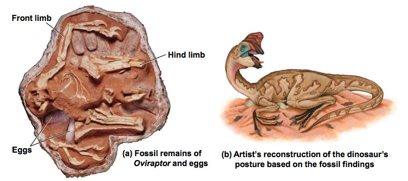 The fossil record supports nest