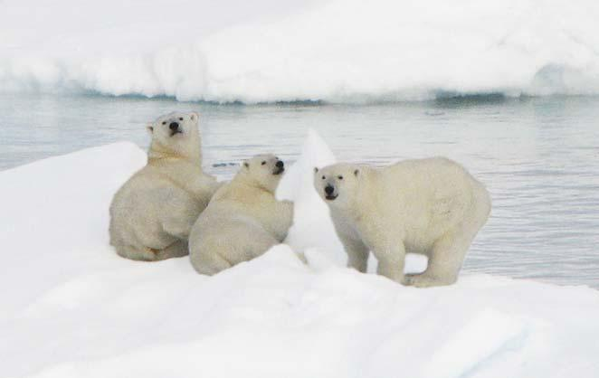 Fig. 33. Bjørn(e) or strictly isbjørn (polar bear) is a common visitor in East Greenland fjords. This mother with two large cubs was photographed from a cruise ship in the pack ice off the coast.