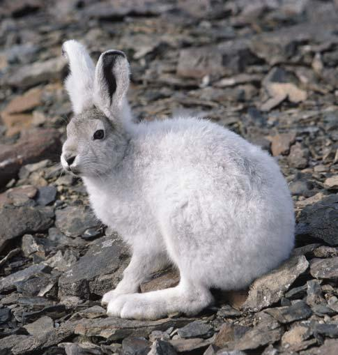 Fig. 45. Arctic hares are common throughout northern East Greenland. Photo: Jakob Lautrup.
