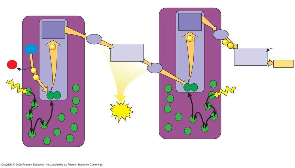 The Light Reactions Produces ATP (chemical energy) & NADPH (reducing power).