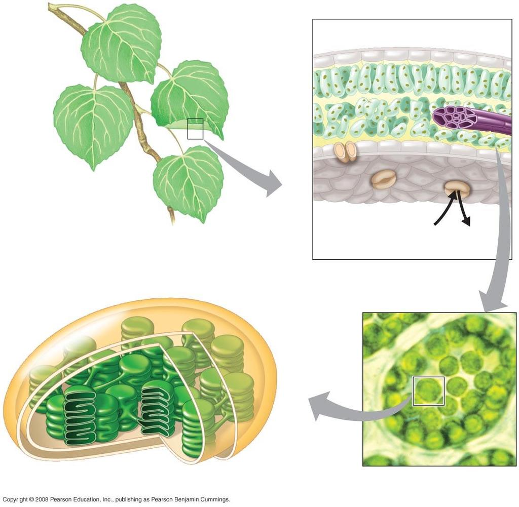Photosynthesis occurs in Chloroplasts Leaf cross section