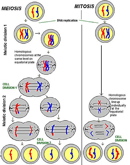 Comparison of Meiosis and Mitosis MEIOSIS RESULTS 4 HALPLOID
