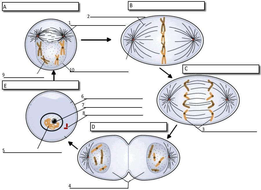 MITOSIS 11. What moves the chromatids during mitosis? 12. What anchors the spindle? 13. What are the four phases of mitosis? 14. How many daughter cells are created from mitosis and cytokinesis? 15.