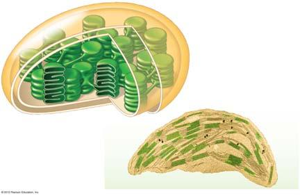 7. hotosynthesis occurs in chloroplasts in plant cells s consist of an envelope of two membranes, which enclose an inner compartment filled with a thick fluid called stroma and contain a system of
