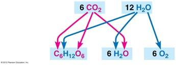 CO becomes reduced to sugar as electrons along with hydrogen ions from water are added to it. Water molecules are oxidized when they lose electrons along with hydrogen ions. Figure 7.4A 7.