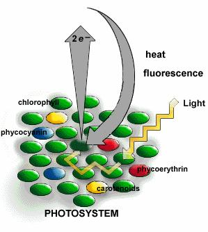 Photosystem structure: Light harvesting complex = chlorophyll a, chlorophyll b, &