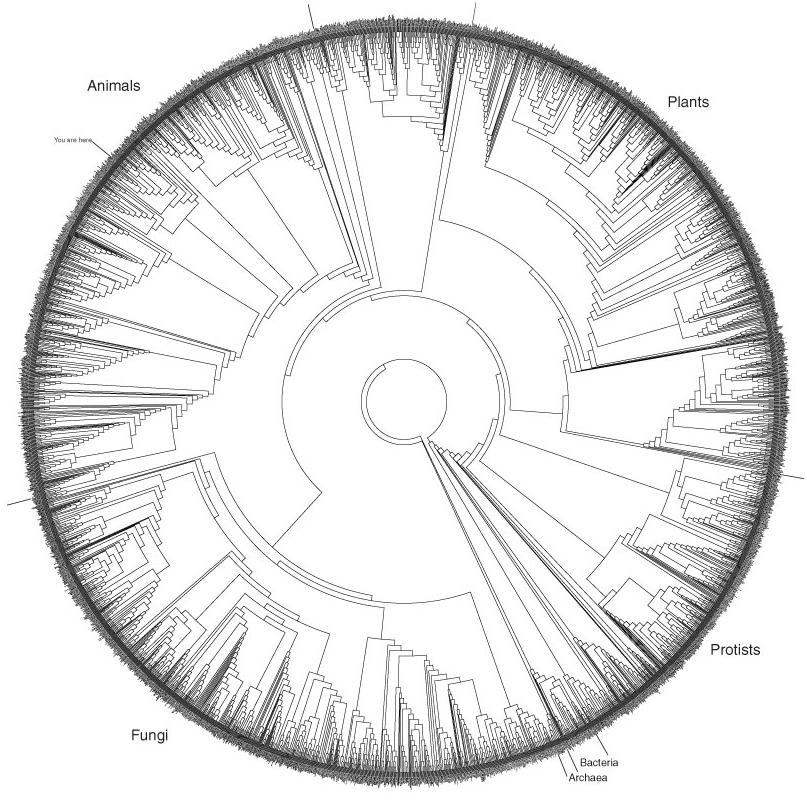 This Phylogenetic Tree depicts the evolutionary relationships of about 3,000 species throughout the Tree of Life.