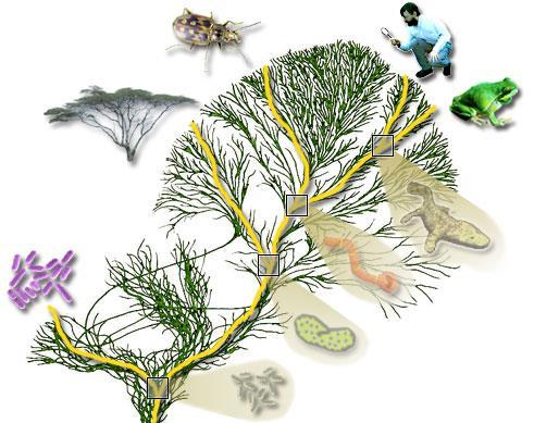 The Tree of Life then represents the phylogeny of organisms, the history of organismal lineages as they