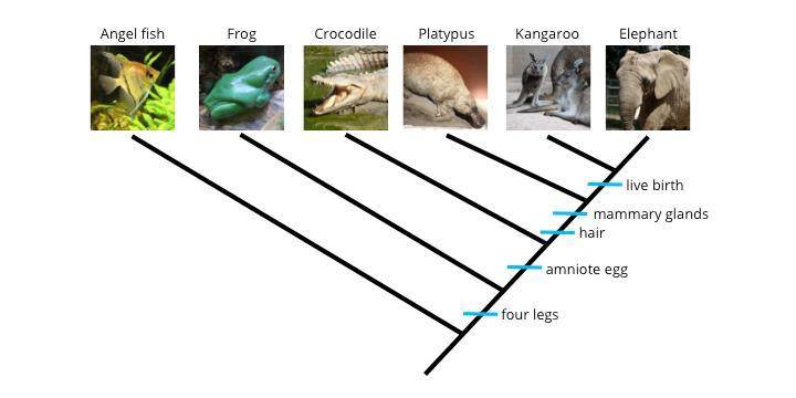 Four legs is a shared ancestral character found in frog, crocodile, platypus, kangaroo and