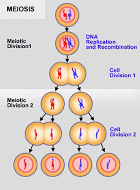 o Sexual reproduction results in greater variation among offspring than does asexual reproduction.
