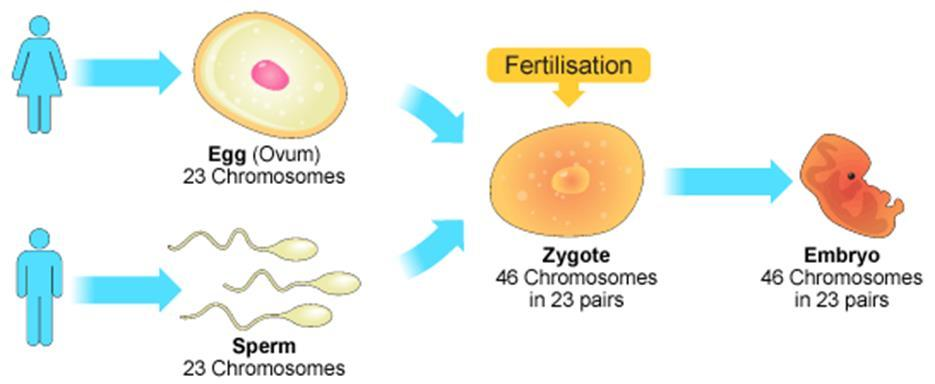 The fertilized egg (zygote) now has two haploid sets of chromosomes bearing genes from the maternal and paternal family lines. It will divide by mitosis to produce a new organism.