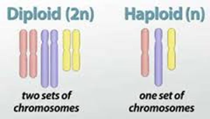 However, in meiosis, there are two consecutive cell divisions, meiosis I and meiosis II, which results in four daughter cells. Replication of chromosomes only occurs before the first division, though.