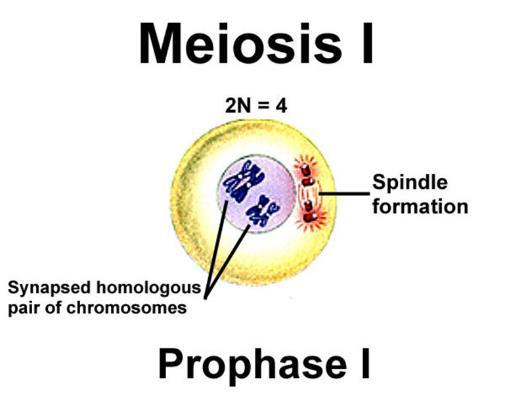 The first division, meiosis I, separates homologous chromosomes. The second, meiosis II, separates sister chromatids.