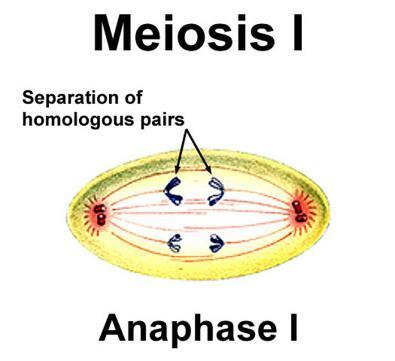 ) Prophase II: a spindle apparatus forms, attaches to each sister chromatid, and moves the double