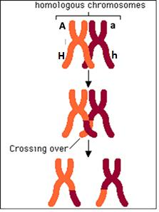 When a pair of homologous chromosomes is lined up next to each other during Meiosis I, the two homologous chromosomes can exchange parts of a chromatid. This is called crossing over. 13a.
