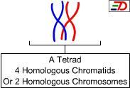 tetrad. A Tetrad pertains to the structure formed by the synapsis of homologous chromosomes during the prophase I of meiosis There are 4 chromatids in a tetrad.