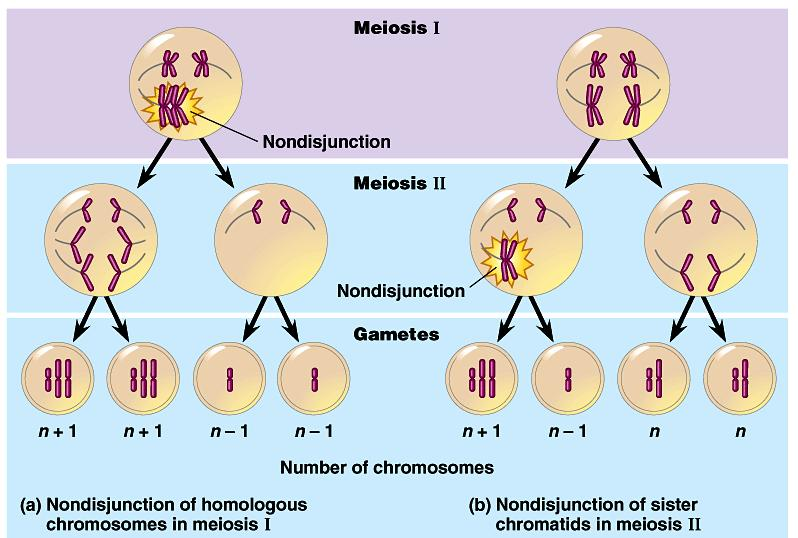 Nondisjunction Problems in meiosis cause errors in daughter cells chromosome pairs do not separate properly during Meiosis 1