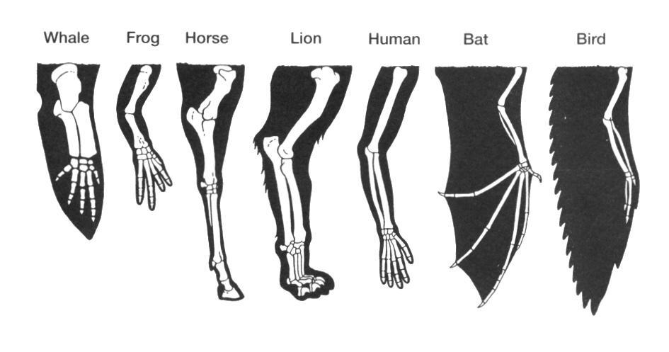 Homologous, Analogous, or Vestigial Homologous structures traits inherited from a common ancestor