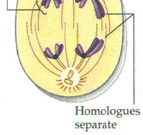 the homologous pairs away from each