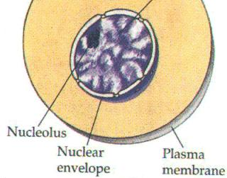 what type of division the cell will undergo when it does divide.