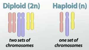 Diploid Cells Diploid - meaning two sets, a cell that contains both sets (one from mom, one from dad) of homologous chromosomes, with 2 sets of genes - sometimes