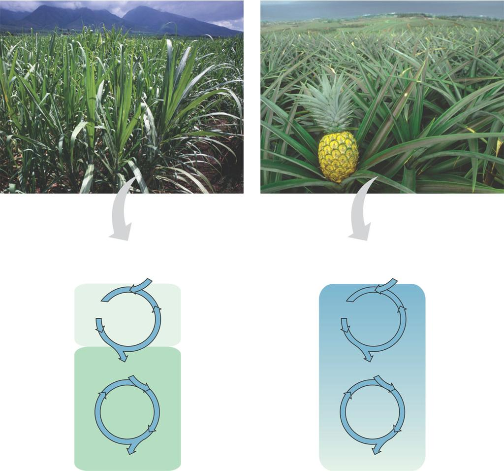 C4 vs CAM Sugarcane Pineapple Mesophyll Cell Bundlesheath cell (a) Spatial separation of steps. In C 4 plants, carbon fixation and the Calvin cycle occur in different igure 10.20 types of cells.
