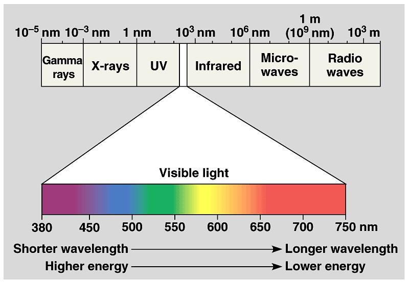 A Look at Light The spectrum of color Light: absorption spectra Photosynthesis performs work