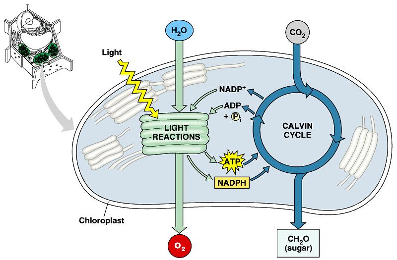 Photosynthesis overview Light reactions convert solar energy to chemical energy ATP Calvin